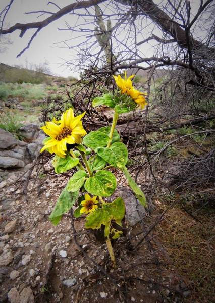 Wild Desert Sunflower Poster