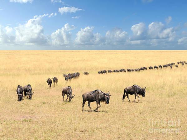Wildebeest, National Park Of Kenya Poster