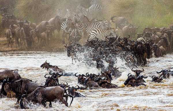 Wildebeests Are Crossing Mara River Poster