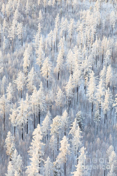 Winter Forest With Frosty Trees, Aerial Poster