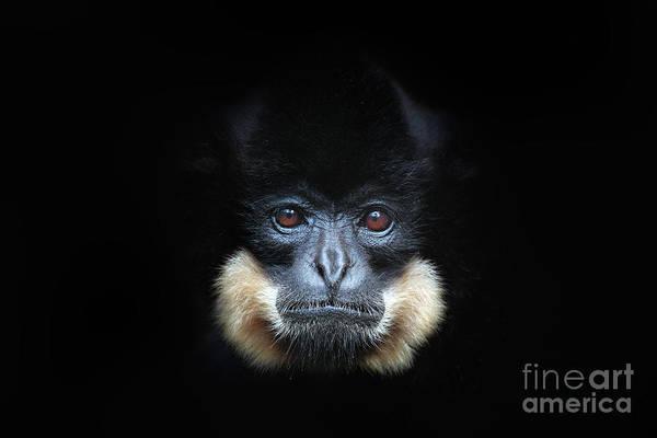Yellow-cheeked Gibbon, Nomascus Poster