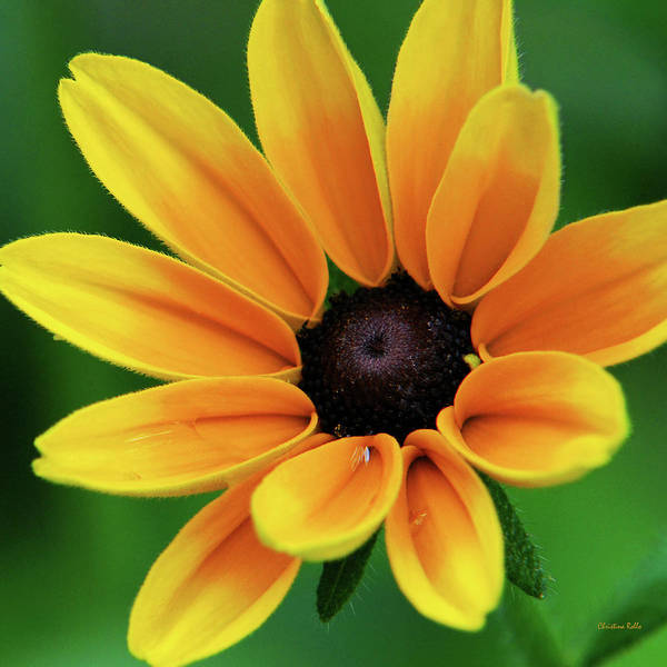 Yellow Flower Black Eyed Susan Poster