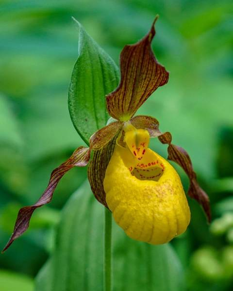 Yellow Lady's Slipper Poster