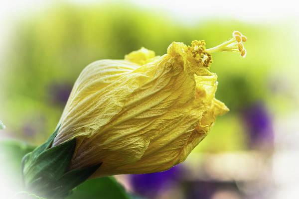 Yellow Mature Hibiscus  Poster