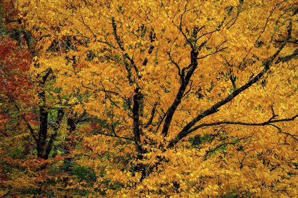 Yellow Tree Leaf Brilliance  Poster