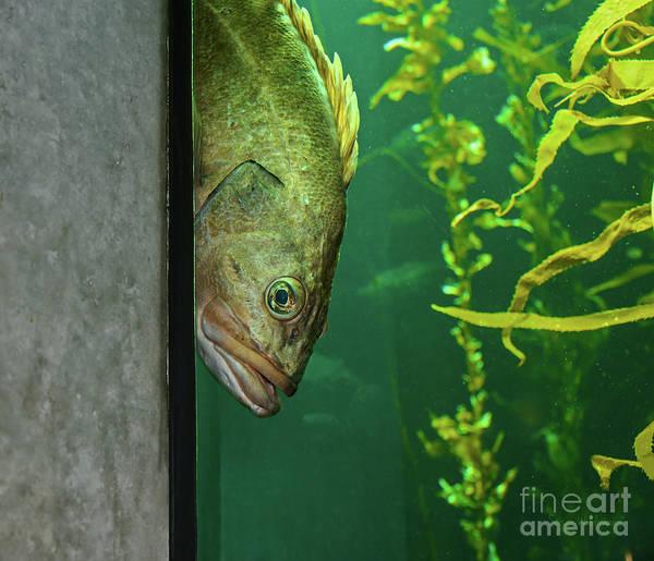 Yellowtail Rockfish Playing Peekaboo Poster