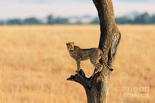 Young Cheetah In The Tree In Masai Poster