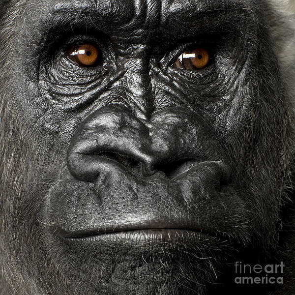 Young Silverback Gorilla In Front Of A Poster