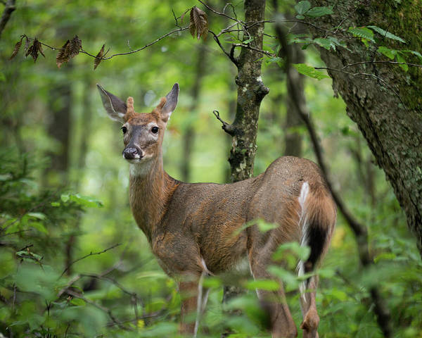 Young White-tailed Deer, Odocoileus Virginianus, With Velvet Antlers Poster