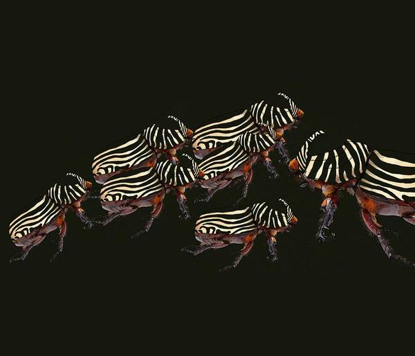 Poster featuring the drawing Zebra Pattern Rhinoceros Beetle 3 by Joan Stratton