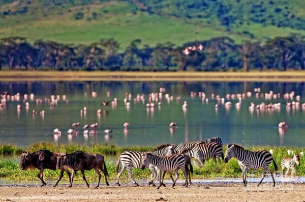 Zebras And Wildebeests Walking Beside Poster