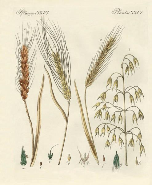 Barley Drawings | Fine Art America