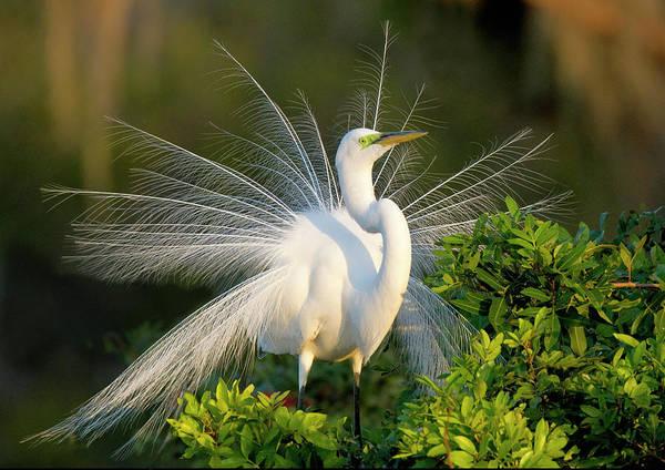 Coastal Bird Art, Egret Print Great Egret Print