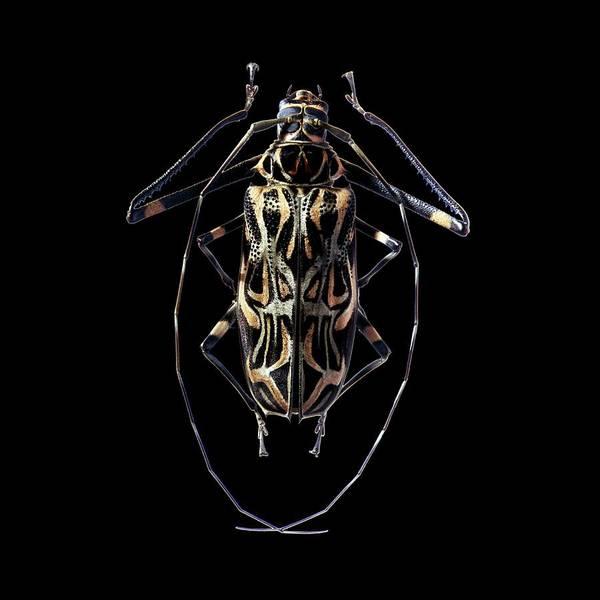 Dragon Face Harlequin Beetle 9901 Real Framed Acrocinus longimanus