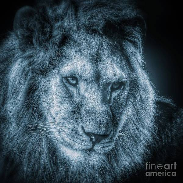Photograph -      Lion Portrait In Monochrome by Nick  Biemans