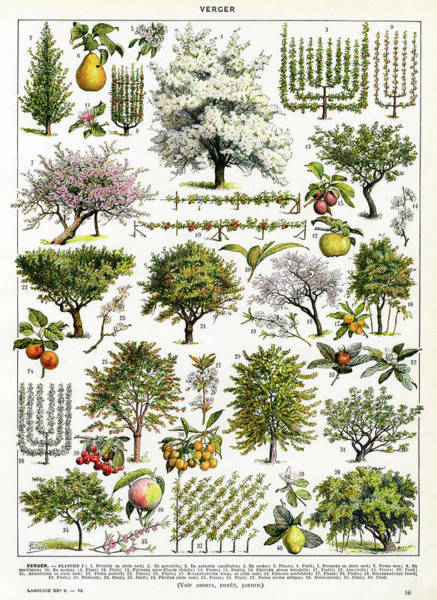 Early 20th Century Drawing -  A Decorative Page Of Orchard by Mary Evans Picture Library
