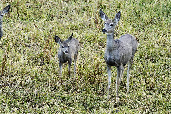 Photograph -  A Doe And One...no Two Fawns - Yellowstone by Belinda Greb