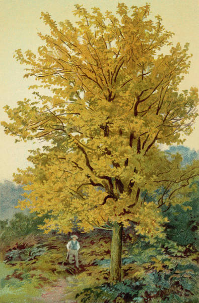 Maple Drawing -  A Field Maple With Autumnal  Foliage by Mary Evans Picture Library