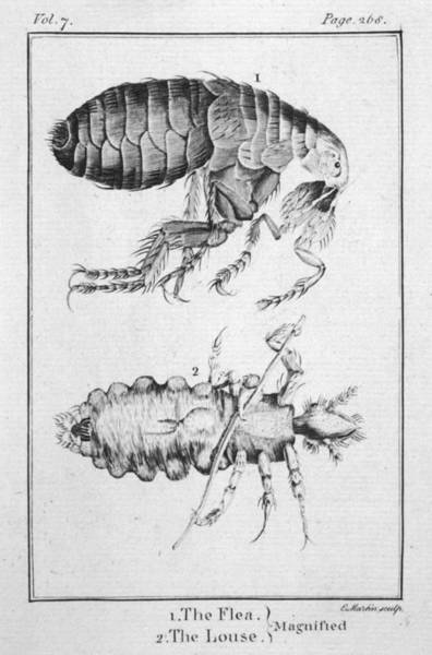 Wall Art - Drawing -  A Flea And Louse Observed With by Mary Evans Picture Library