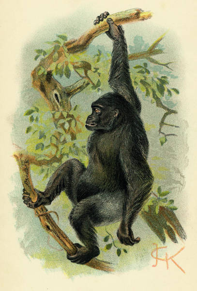 Wall Art - Drawing -  A Gorilla Hanging In A Tree by Mary Evans Picture Library