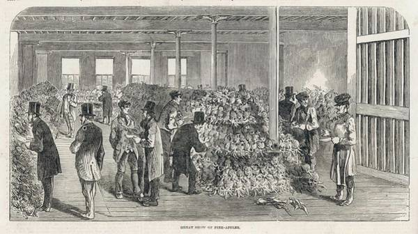 Pineapples Drawing -  A Great Display Of Newly  Imported by  Illustrated London News Ltd/Mar