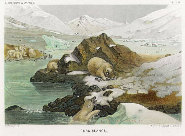 Polar Bear Drawing -  A Group Of Polar Bears In An  Icy by Mary Evans Picture Library