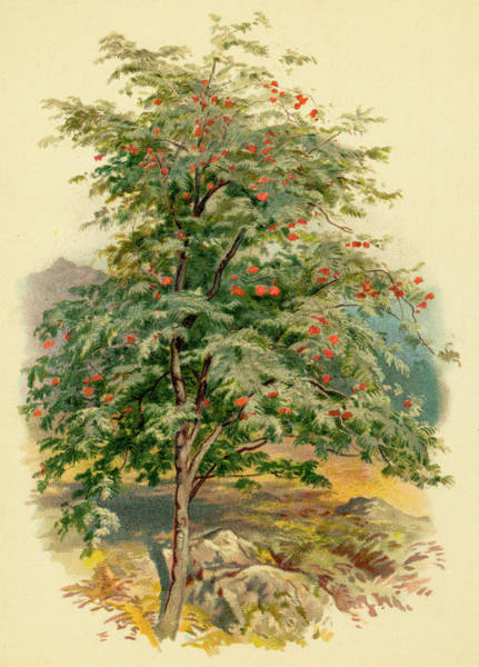 Ashes Drawing -  A Mountain Ash Or Rowan Tree by Mary Evans Picture Library