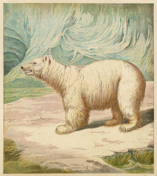 Polar Bear Drawing -  A Polar Bear Stands In An Icy  Setting by Mary Evans Picture Library