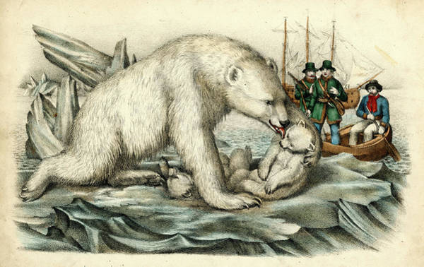 Wall Art - Drawing -  A Polar Bear Tends To Her Cubs  While by Mary Evans Picture Library
