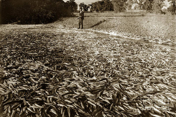 Photograph -  A Run Of Squawfish Stranded In Kelsey Creek Near Kelseyville Lake County April 29 1899 by California Views Archives Mr Pat Hathaway Archives