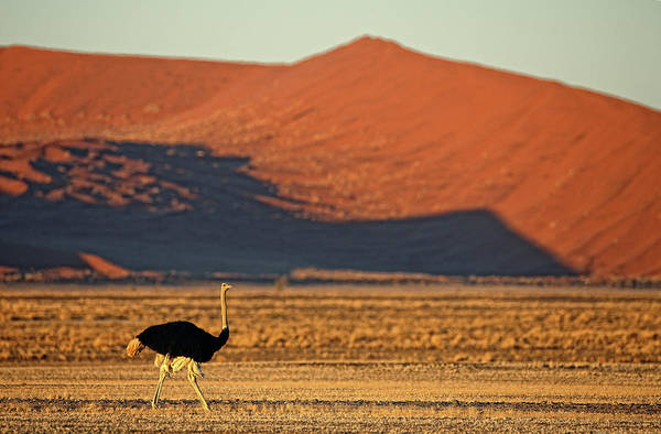 Urban Wildlife Photograph -  Africa, Namibia, Ostrich by David Santiago Garcia
