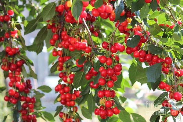 Photograph -  All Round Cherries 2 by Donna L Munro