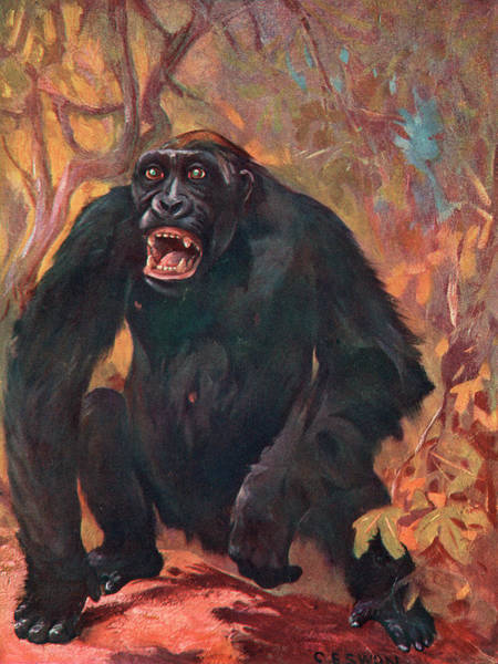 Wall Art - Drawing -  An Angry Male Gorilla by Mary Evans Picture Library