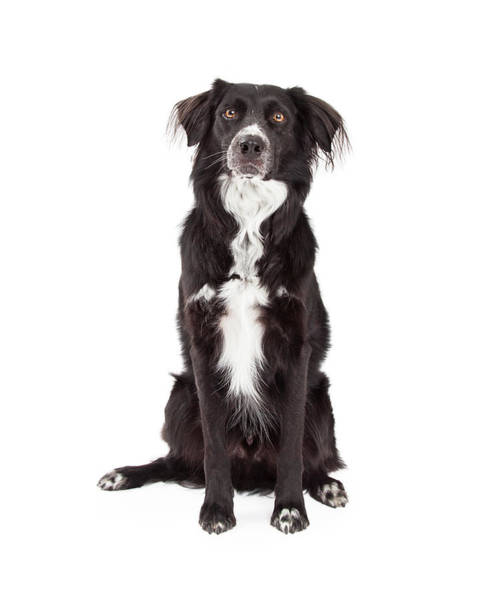 Crossbreed Wall Art - Photograph -  Attentive Border Collie Mix Breed Dog Sitting by Susan Schmitz