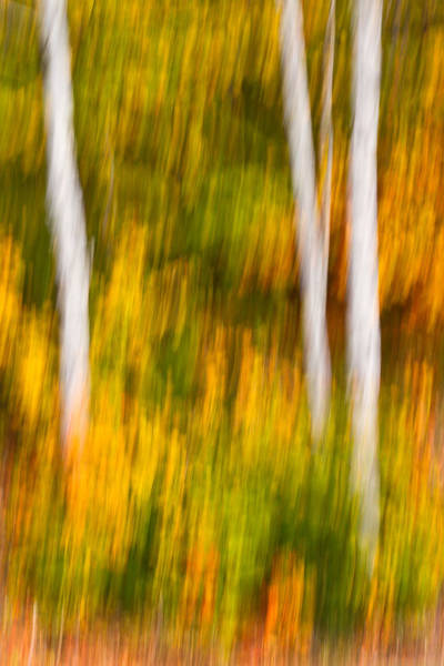 Photograph -  Autumn Birches by Jeff Sinon