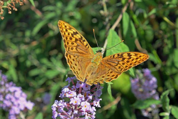 Photograph -  Balkan Fritillary by Tony Murtagh
