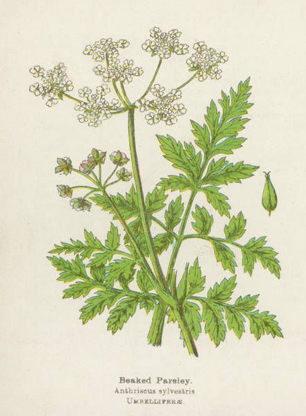 Early 20th Century Drawing -  Beaked Parsley         Date Early 20th by Mary Evans Picture Library