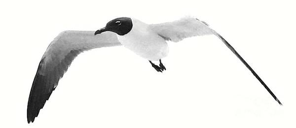 Chroicocephalus Ridibundus Photograph -  Black Headed Gull By Saribelle Rodriguez by Saribelle Rodriguez