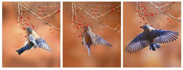 Wall Art - Photograph -  Bluebird Click Click Click by Randall Branham