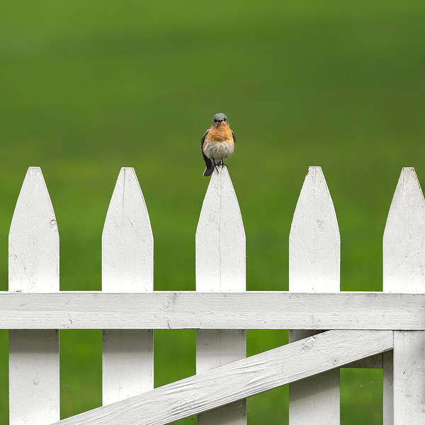 Photograph -  Bluebird On The Fence Square by Bill Wakeley