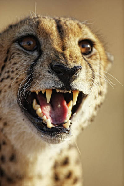 Wall Art - Photograph -  Cheetah In Moremi Reserve Okavango by David Santiago Garcia