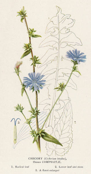 Chicory, Or Succory         Date 1915 Art Print