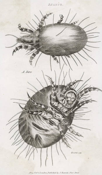 Cheese Drawing -  Close Up Of Cheese Mites by Mary Evans Picture Library
