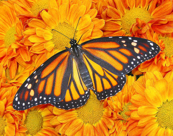 Monarch Butterflies Photograph -  Color Matching In Nature by David and Carol Kelly