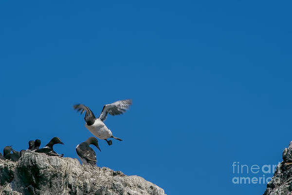 Photograph -  Common Murres Flying by Dan Friend