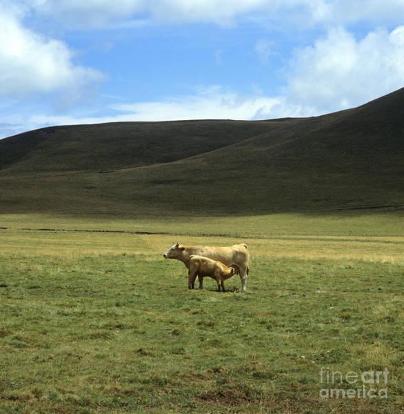 Agrarian Wall Art - Photograph -  Cow And Calf. Aubrac . France. by Bernard Jaubert