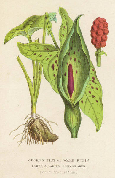 Cuckoo Drawing -  Cuckoo Pint, Or Wake Robin, Or Lords by Mary Evans Picture Library