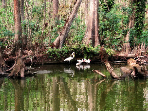 Photograph -  Cypress Swamp  by Peg Urban