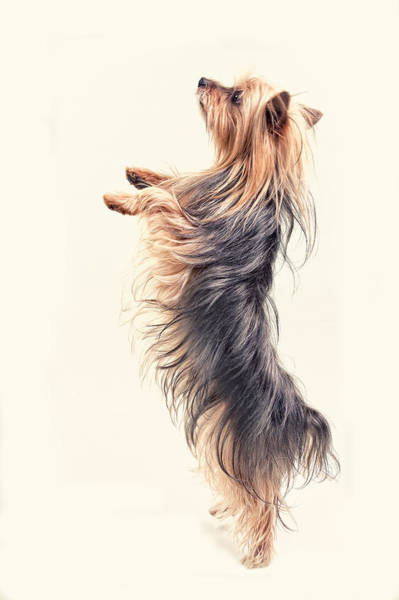 Yorkie Wall Art - Digital Art -  Dancing Yorkshire Terrier by Susan Stone