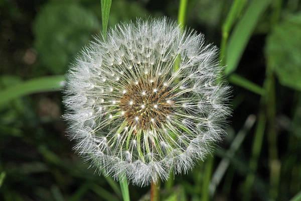 Photograph -  Dandelion Seed Head by Tony Murtagh